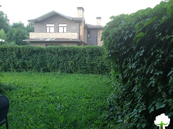 Живая изгородь из Винограда девичьего около таунхауса.