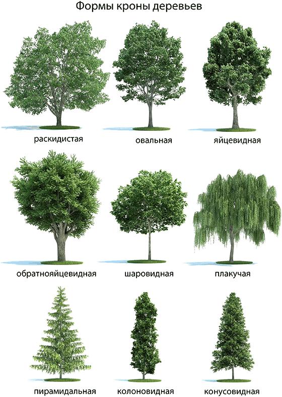 Výsledek obrázku pro хвойные деревья крона