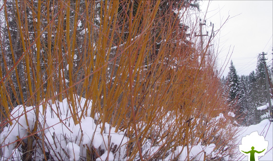 Картинки ивы зимой